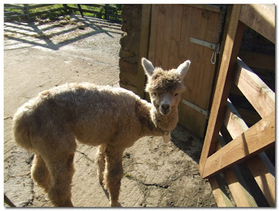 Northumbrian Alpacas