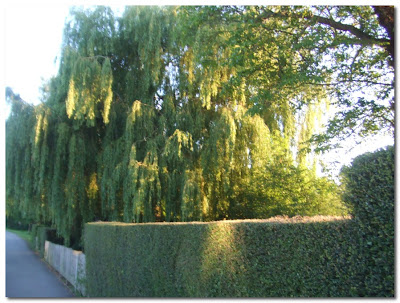 weeping willows on the thames