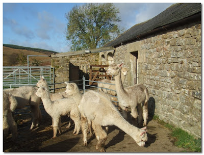 alpacas in northumberland