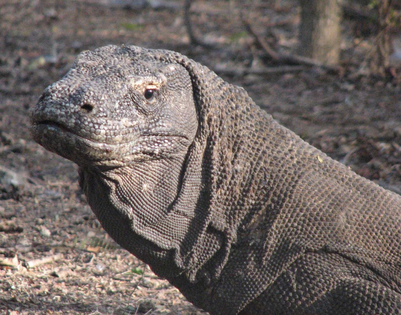 The gallery for --> Komodo Dragons Teeth