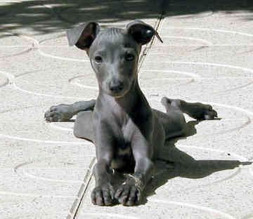 Italian Greyhound Puppies on The Playful Pup  The Italian Greyhound
