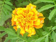 Fancy Marigold From Last Year's Deadhead Seeds In The Neighbor's Garden