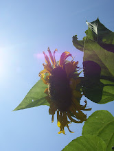 Another Sunflower...Another Grand Opening Day