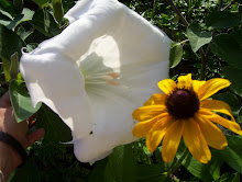A White Moon Flower and a Black-Eyed  Susie Growing Side By Side In the Graden
