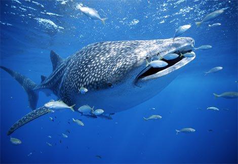القرش الحوت