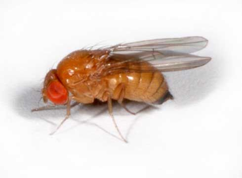 Spotted Wing Drosophila California http://farmerfredrant.blogspot.com/2011/04/gearing-up-for-cherry-maggot-battle.html