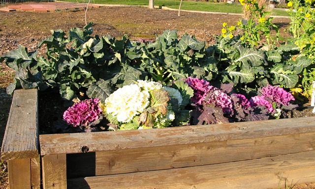although we are still in mid summer this is the time to start your winter vegetable garden here in northern california as well as other mild winter areas - Fall Garden Plant