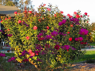 tropicana roses rose cosmos hybrid tea rant farmer fred
