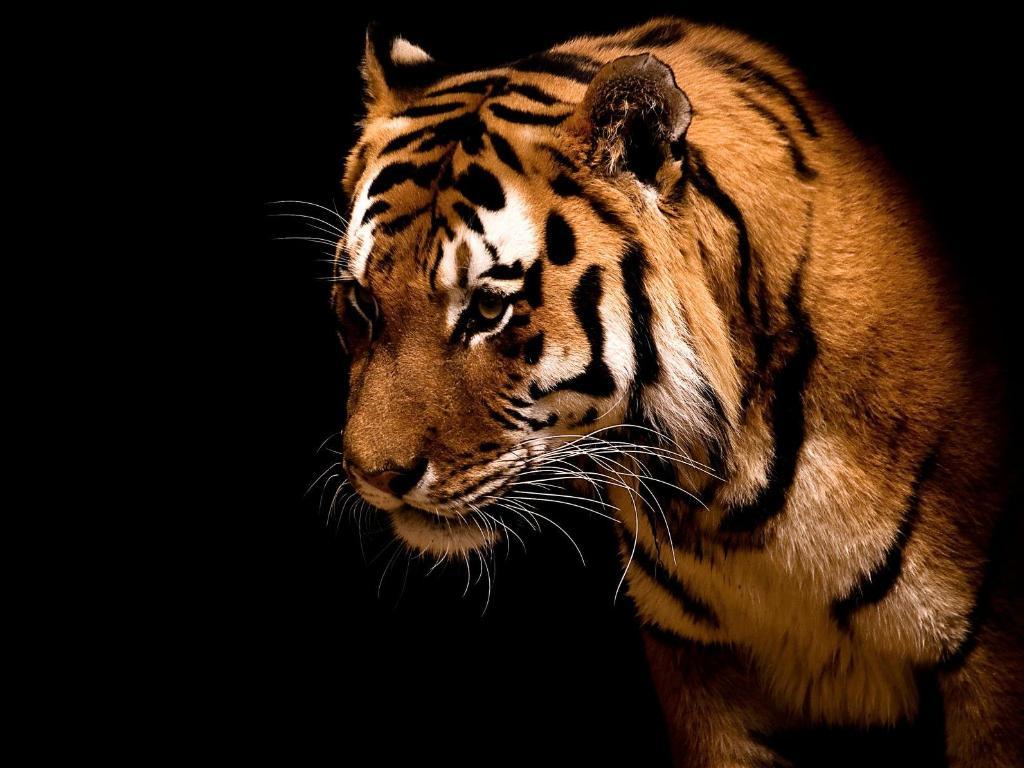 Cool desktop animali felini magnifica tigre su for Animali desktop