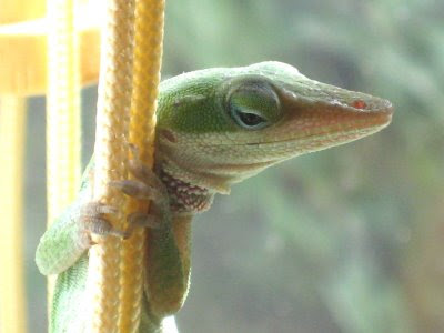 Green Anole courtesy of Wiki Media Commons