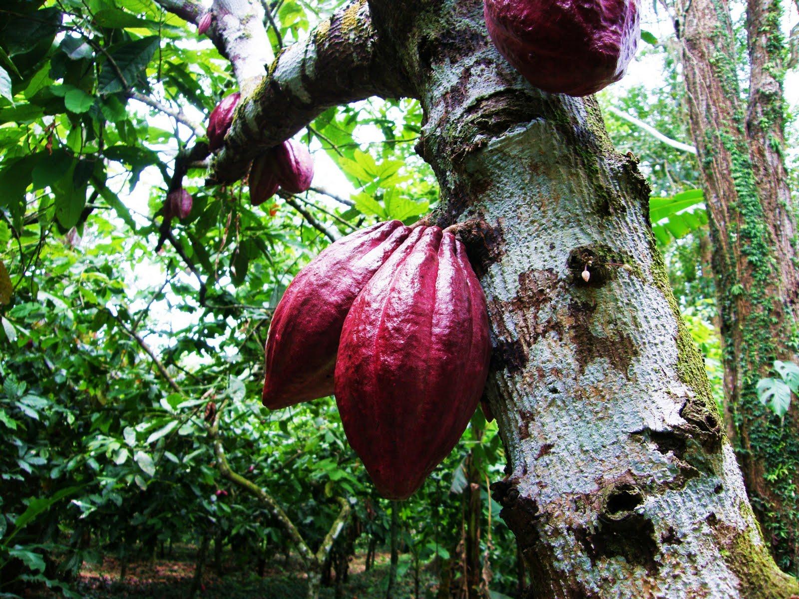 Tomásnomás: El cacao criollo es bueno, pero puede ser mejor1600 x 1200 jpeg 460kB