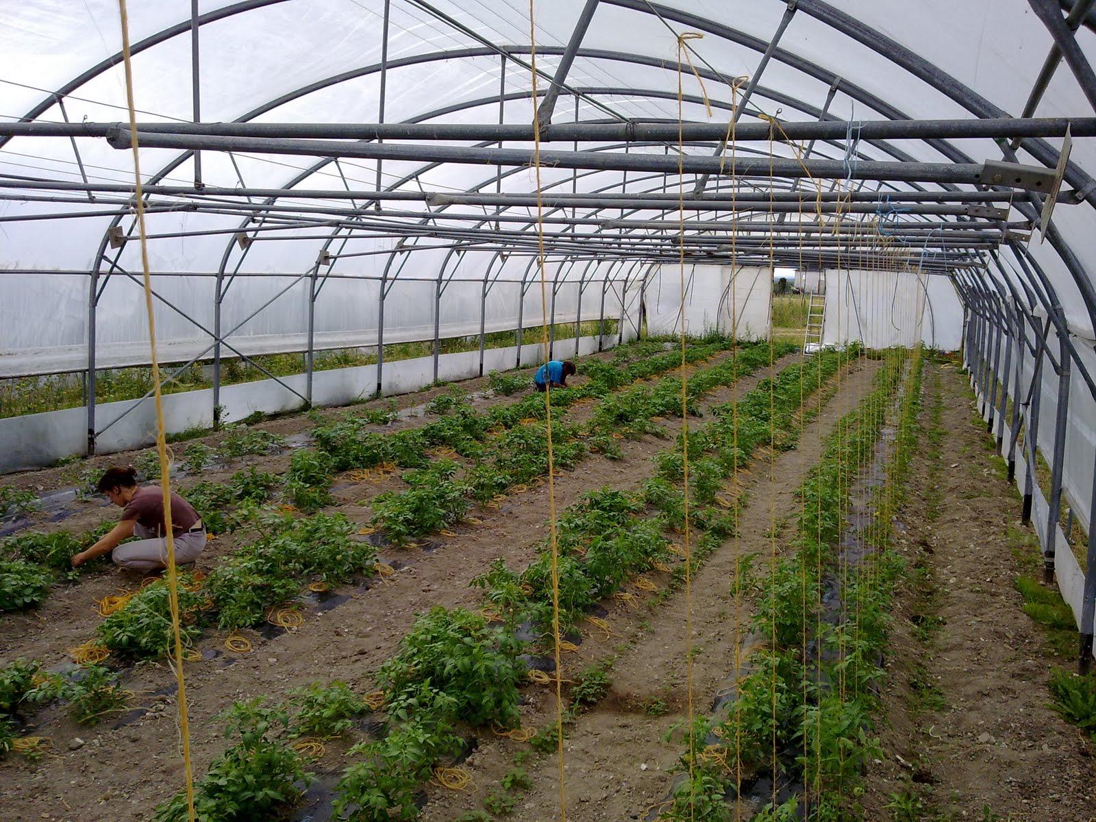 Fermopanier notre serre de tomates - Serre a tomate ...