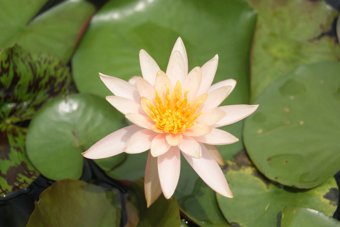 p a t c h r i s Rare Water Lily Flower