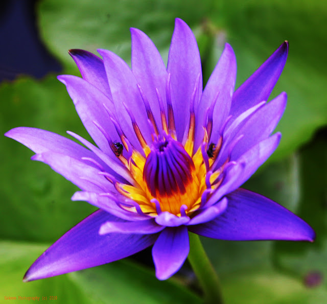 lotus with purple flower