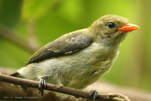 Scarlet-headed Flowerpecker Juvenile 2