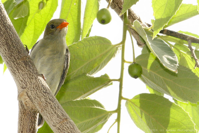 Scarlet-headed Flowerpecker Juvenile 6