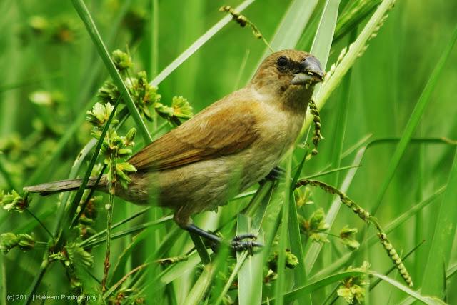 Scaly-breasted Munia (Lonchura punctulata subundulata) - Juvenile 2