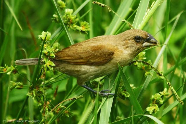 Scaly-breasted Munia (Lonchura punctulata subundulata) - Juvenile