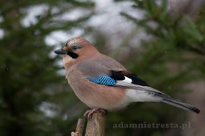zdjęcia ptaków - sójka
