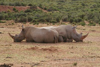 fotogafia przyrodnicza - nosorożec