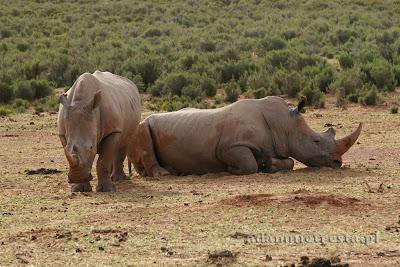 zdjęcia przyrodnicze - nosorożec