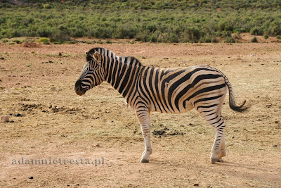 zdjęcia przyrody - zebra