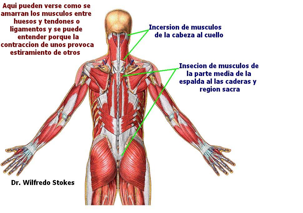 Lujo Músculos De La Espalda De La Cabeza Ideas - Anatomía de Las ...