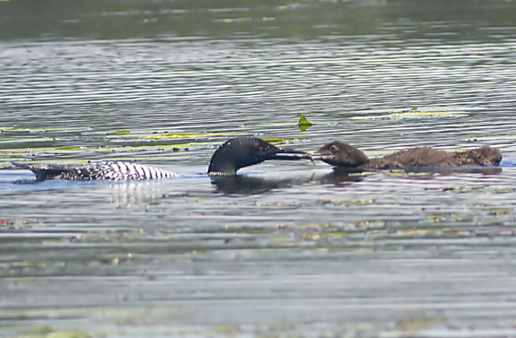 common loon range. Non-breeding loons are found