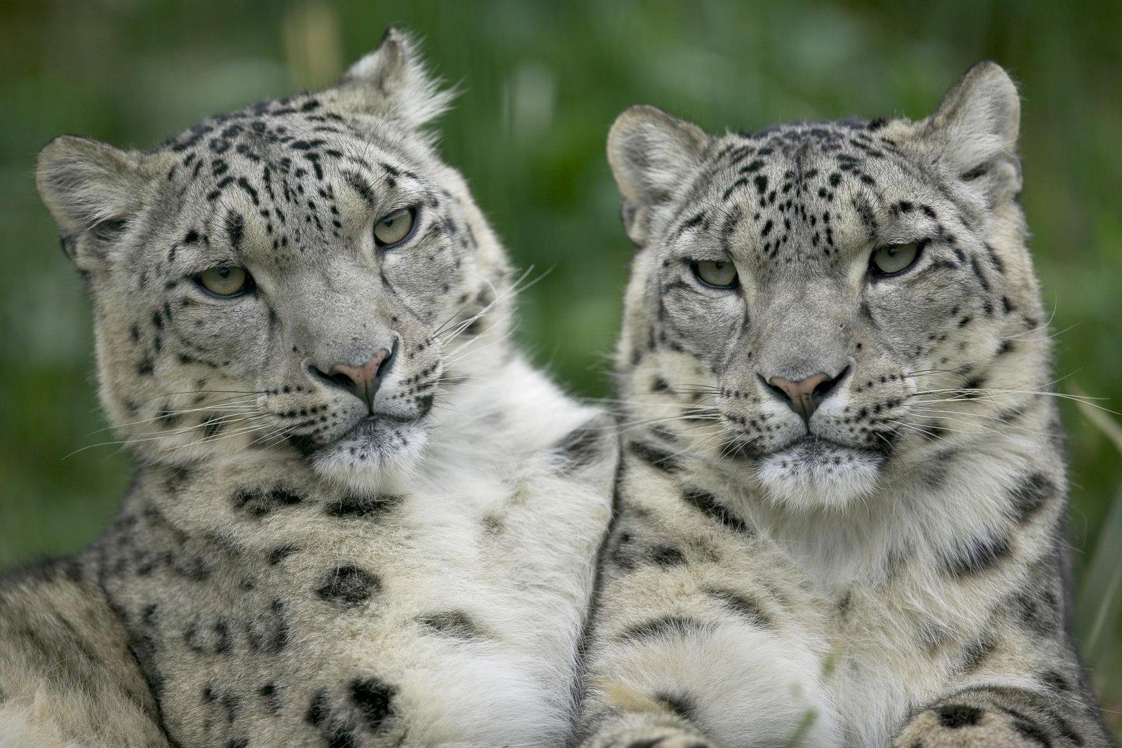 http://2.bp.blogspot.com/_lj_y7Z_fw94/S7lLIgPUb5I/AAAAAAAAA4E/DQDxu5w5RiI/s1600/Snow+Leopard+Pair.jpg