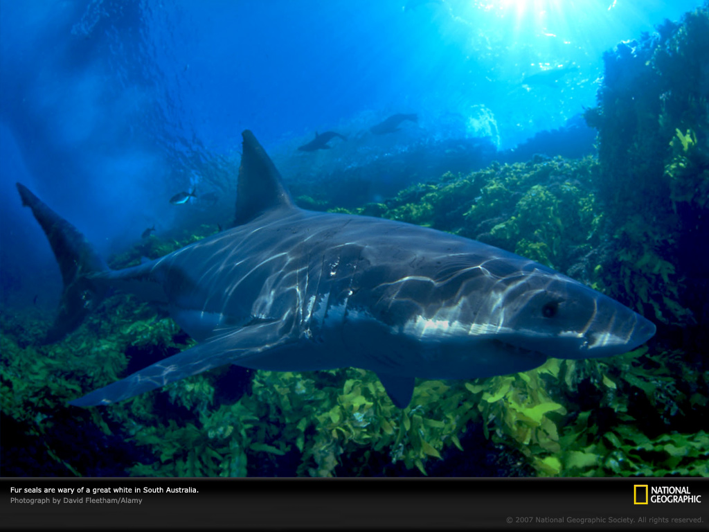 animal background wallpapers shark wallpaper and background