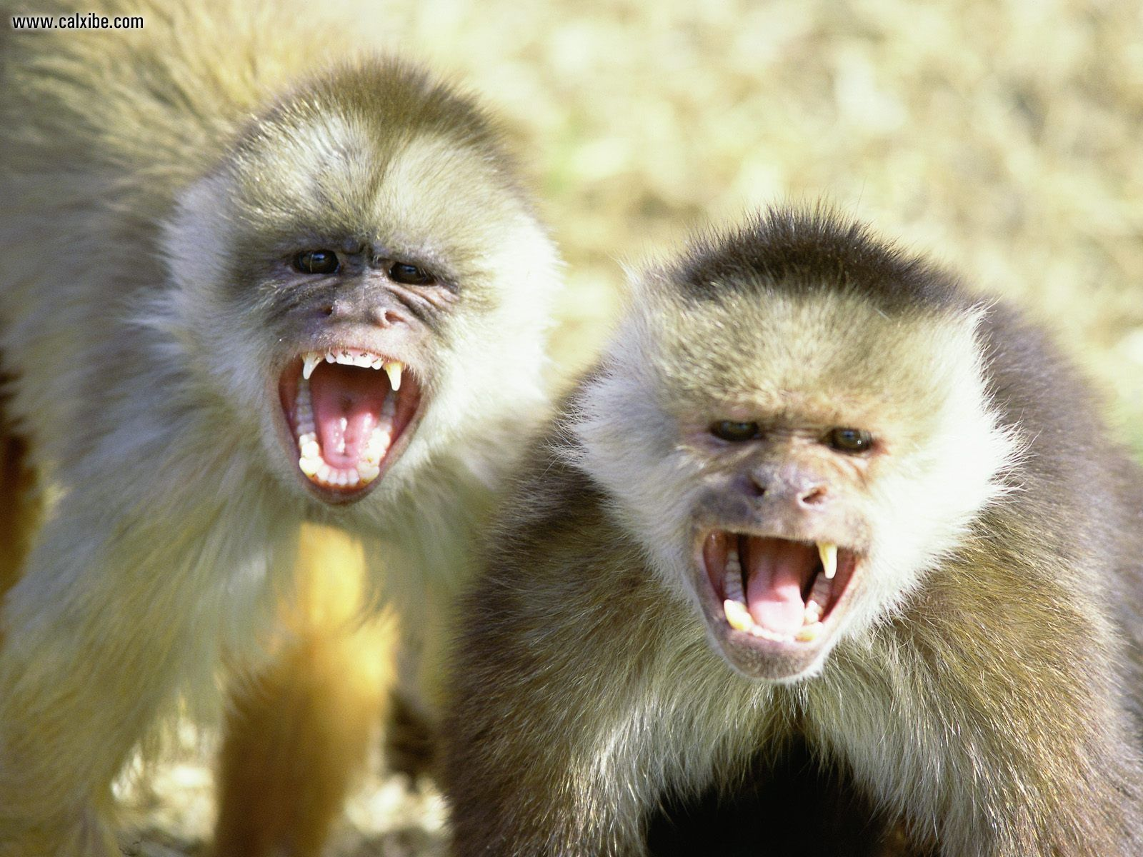 Animal Desktop Wallpapers Capuchin Monkeys Wallpapers