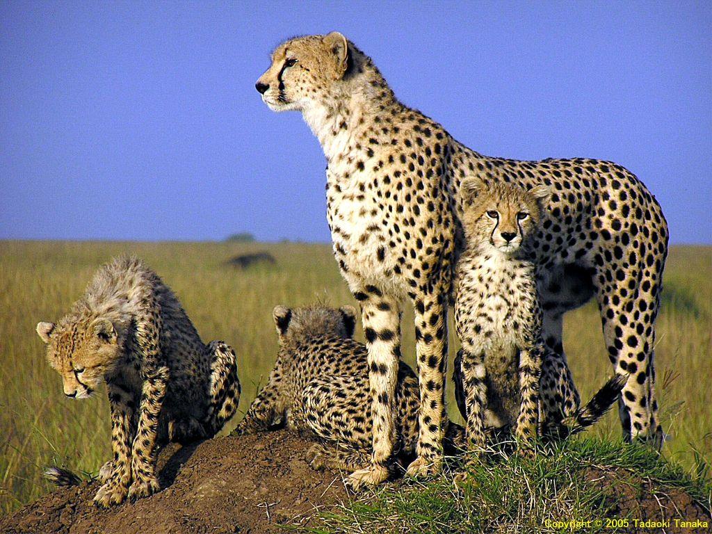 Animal Desktop Wallpapers Cheetah Wallpapers HD Wallpapers Download Free Images Wallpaper [1000image.com]