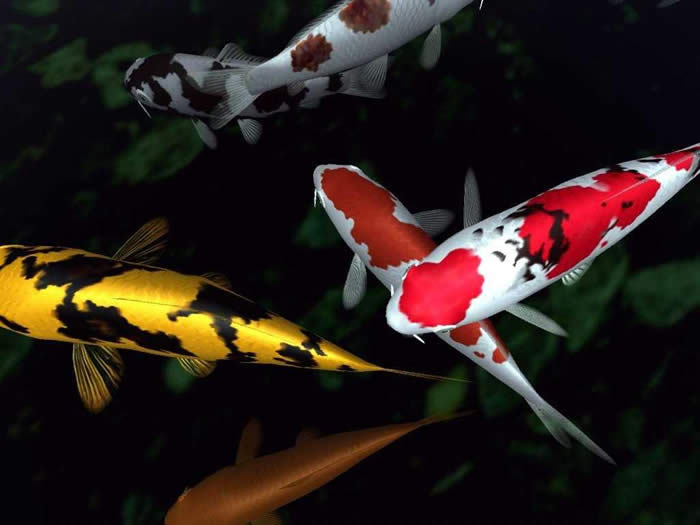 Animals best pictures gallery koi fish image gallery for Koi fish pictures