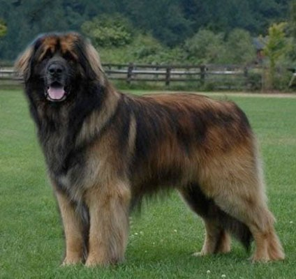 What Dog Breed Looks Just Like Leonberger