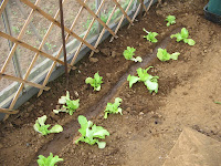 hothouse lettuce