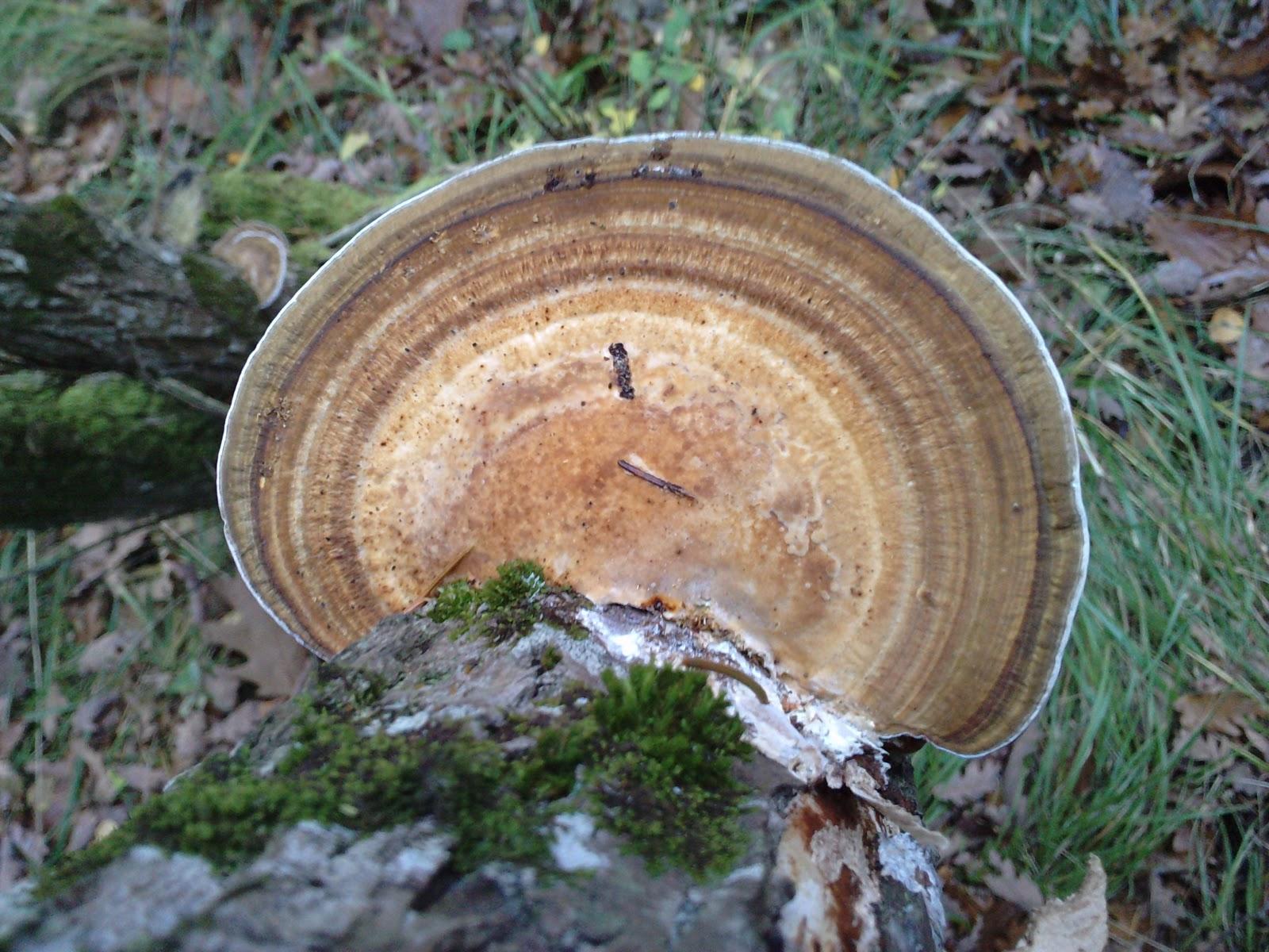 Mercredinature chambray les tours visite de la for t de lar ay - Champignon qui pousse sur les arbres ...