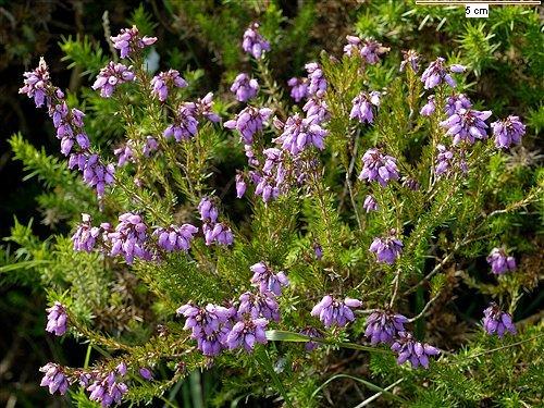 La flor de la pradera.