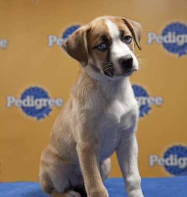 Boxer Australian Shepherd Mix This boxer mix is more than