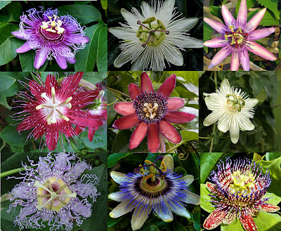 passion+flower.jpg