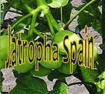 JatrophaSpain @gmail.com