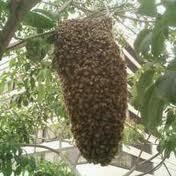 Muốn lấy mật đừng phá tổ ong