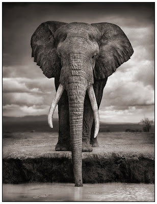 drinking Elephant - Africa
