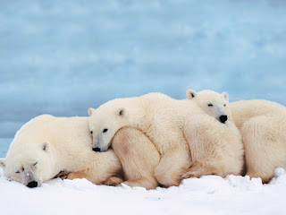 three sleeping polar bears