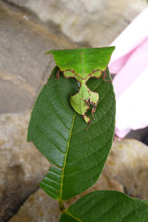 Strange insect - looks like a leaf