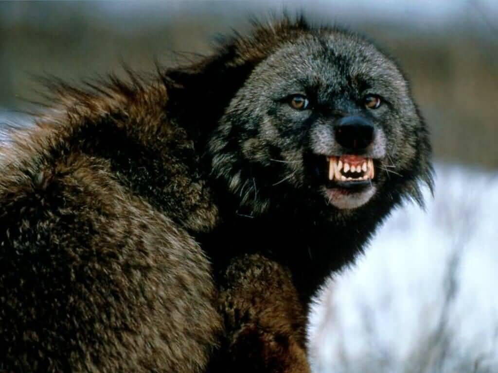 national geographics dangerous wolves amp dangerous wolves