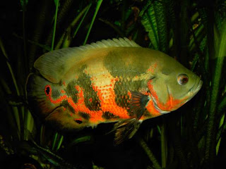 Oscer Fish