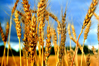 futures wheat crop