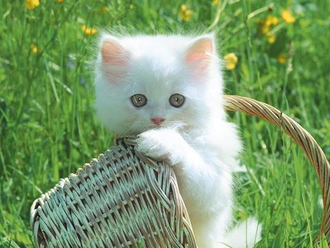 Kucing Siam atau Kucing Anggora