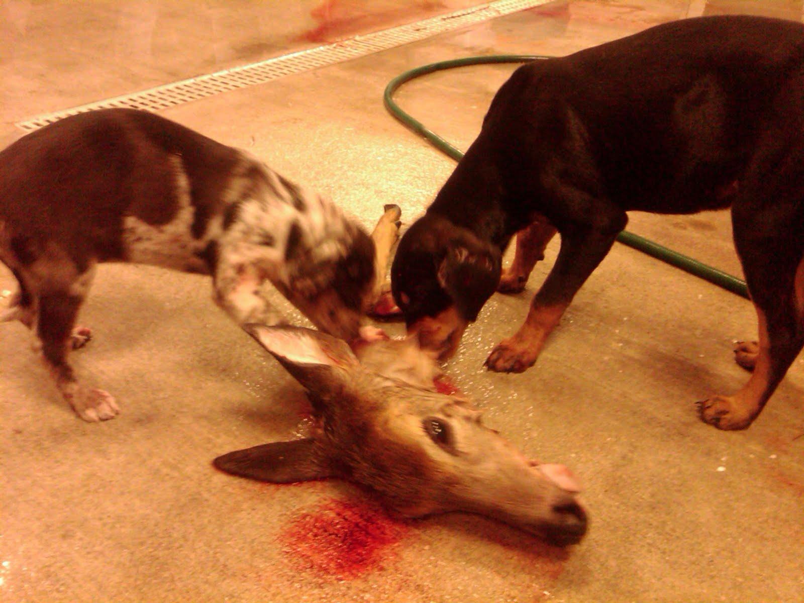 Can Dogs Eat Fresh Deer Antlers