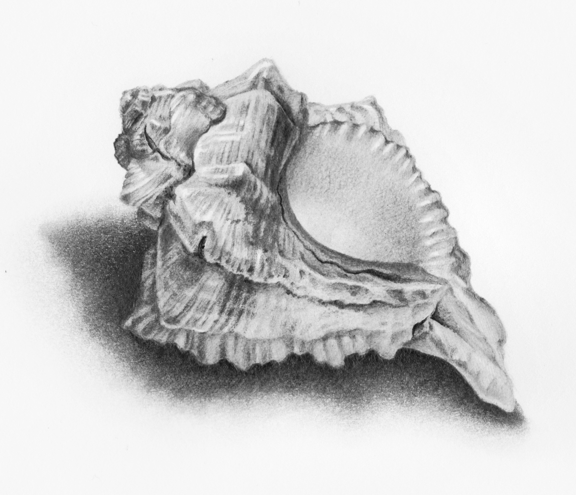 Shell Drawing Drawings Lessons Tes